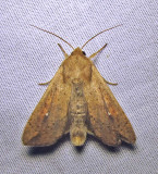 Mythimna unipuncta - 10438 - Armyworm