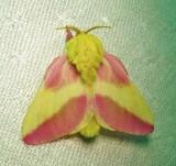 Dryocampa rubicunda - 7715 - Rosy Maple Moth