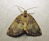 Hydriomena renunciata - 7236 - Renounced Hydriomena
