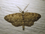 Glena cognataria (possibly - worn specimen) - 6450
