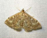 Phlyctaenia coronata - 4953 - Crowned Phlyctaenia