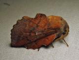 Phyllodesma americana - 7687 - Lappet Moth