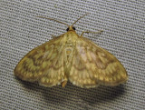 Herpetogramma pertextalis - 5275 - Bold-feathered Grass Moth