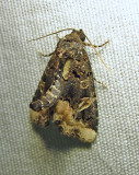 Homophoberia apicosa - 9057 - Black Wedge-spot Moth - view 1
