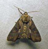 Lateroligia ophiogramma - 9385.1 (worn)