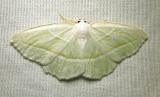 Campaea perlata - 6796 - Pale Beauty Moth