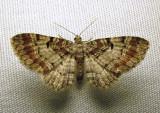 Eupithecia johnstoni (?) - 7570E