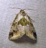 Maliattha synochitis- 9049 - Black-dotted Maliattha