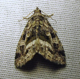 Protodeltote muscosula – 9047 – Large Mossy Lithacodia Moth