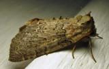 Pseudothyatira cymatophoroides - 6237 - Tufted Thyatirid - view 1