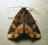 Homophoberia apicosa - 9057 - Black Wedge-spot Moth