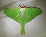 Actias luna - 7758 - Luna Moth