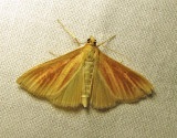 Nascia acutella (?) - 4937 - Streaked Orange (?)
