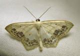 Scopula limboundata - 7159 - Large Lace-border moth