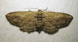 Horisme intestinata - 7445B - Brown Bark Carpet Moth