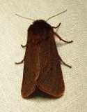 Phragmatobia fuliginosa - 8156  (??) - view 1