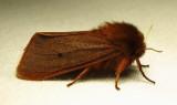 Phragmatobia fuliginosa - 8156  (??) - view 2