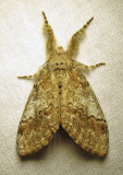 Dasychira dorsipennata - 8293 - Sharp Lined Tussock Moth
