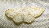 Cyclophora pendulinaria - 7139 - Sweetfern Geometer moth