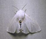 Spilosoma virginica -8137 - Virginian Tiger Moth