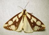 Haploa confusa - 8112 - Confused Haploa Moth - view 2