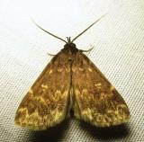 Idia lubricalis - 8334 - Glossy Black Idia (??)