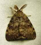 Lymantria dispar - 8318 - Gypsy Moth