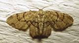 Callizzia amorata  - 7650 - Gray Scoopwing