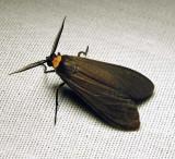 Cisseps fulvicollis - 8267 - Yellow-collared Scape moth