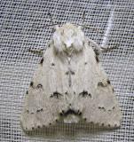 Acronicta vulpina - 9206 - Miller Dagger