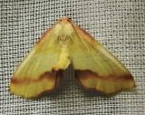 Plagodis serinaria - 6840 - Lemon Plagodis