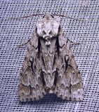 taupe-moth-28-05-2011.jpg