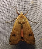 Noctua pronuba - 11003.1 Large Yellow Underwing