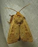 Leucania pseudargyria - 10462 - False Wainscot Moth
