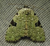Leuconycta diphteroides - 9065 - Green Leuconycta