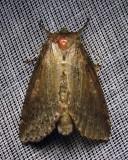 Pseudothyatira cymatophoroides - 6237 -Tufted Thyatirid
