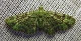 Pasiphila rectangulata - 7625 - Green Pug Moth