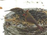 Cardinal -- female