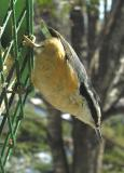 Red-breasted Nuthatch -- 1