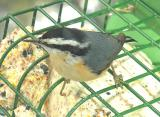 Red-breasted Nuthatch -- 2