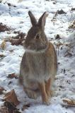 Eastern Cottontail Rabbit - 3