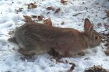 Eastern Cottontail Rabbit - 6