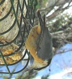 Red-breasted Nuthatch -- 4