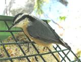 Red-breasted Nuthatch -- 3