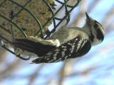 Downy Woodpecker  -  female