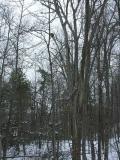 porc-high-tree-large.jpg