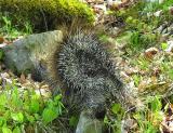 porcupine-walking.jpg