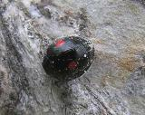 Chilocorus stigma - Twice-stabbed Ladybeetle - view 2