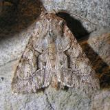 Achatia distincta - Distinct Quaker - 10518