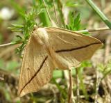 Tetracis crocallata - 6963 - Yellow Slant-line moth